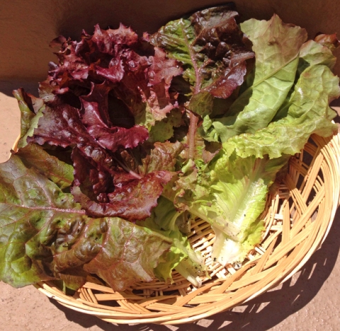 Garden-to-table: fresh lettuce