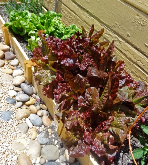 Burgundy mix and little gem lettuces