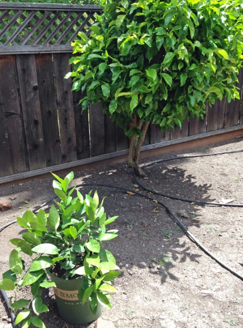 Baby lime bush next to the lemon tree