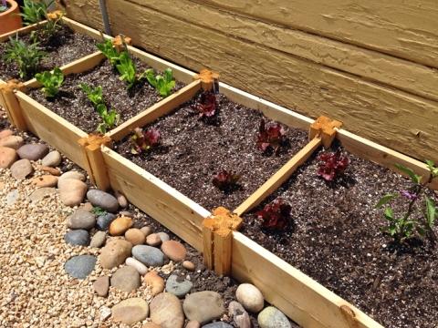 Left to right: Little Gem lettuce, Burgundy Red Mix lettuce, purple jalapeno