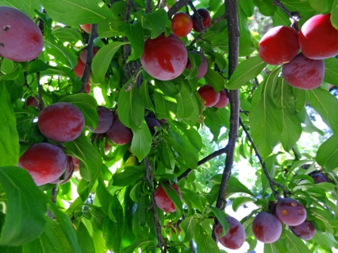 Santa Rosa plums, ripe on the tree