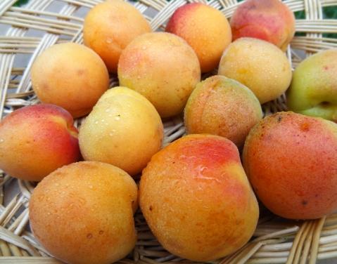 Beautiful apricots from my backyard