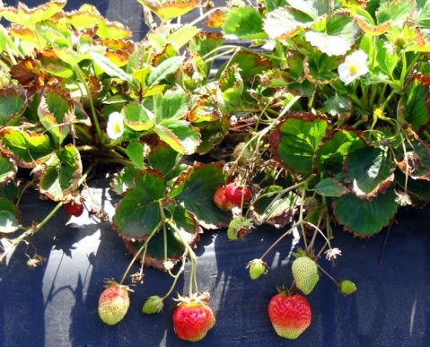 Strawberry plants in the sun at Swanton Berry Farm