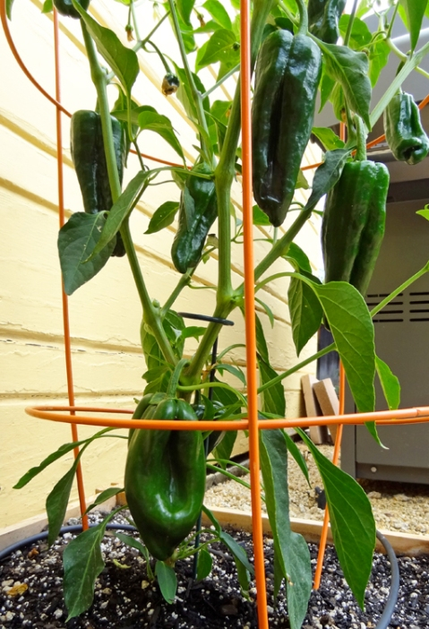 Ancho pepper plant with half a dozen or so peppers