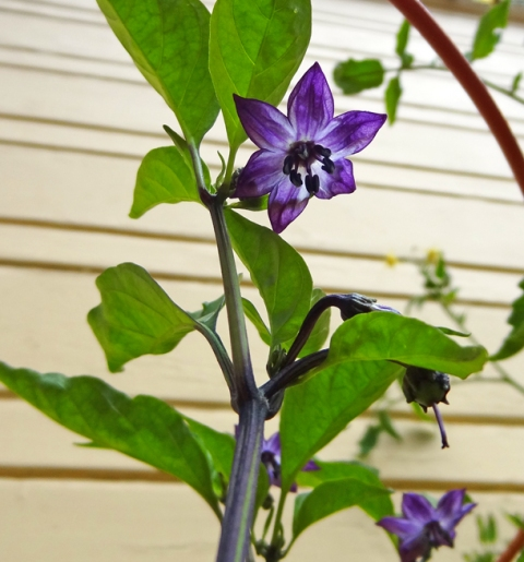 Flower on purple jalapeno plant