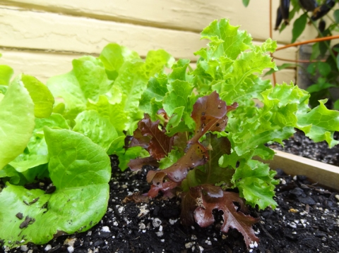 Closeup of new baby lettuces