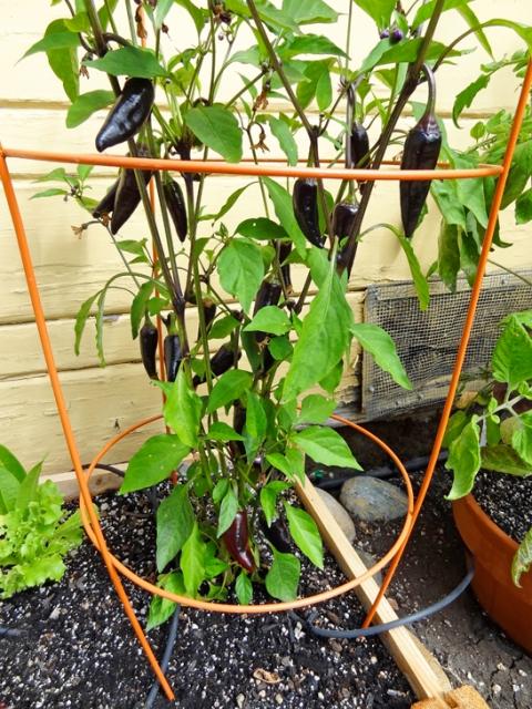 Purple jalapeño plant with unripe peppers