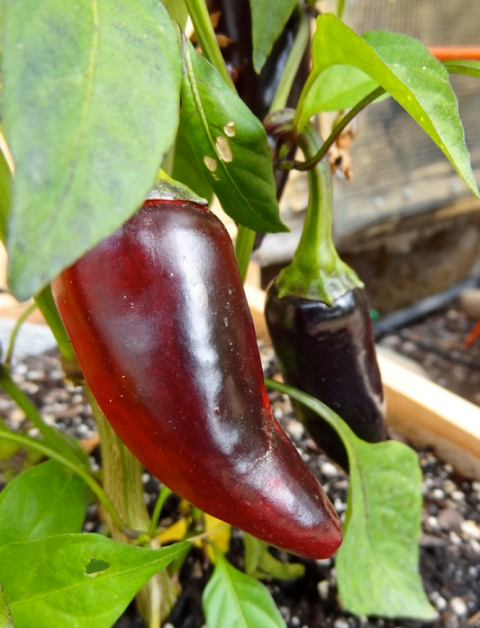 Purple jalapeños, red at maturity