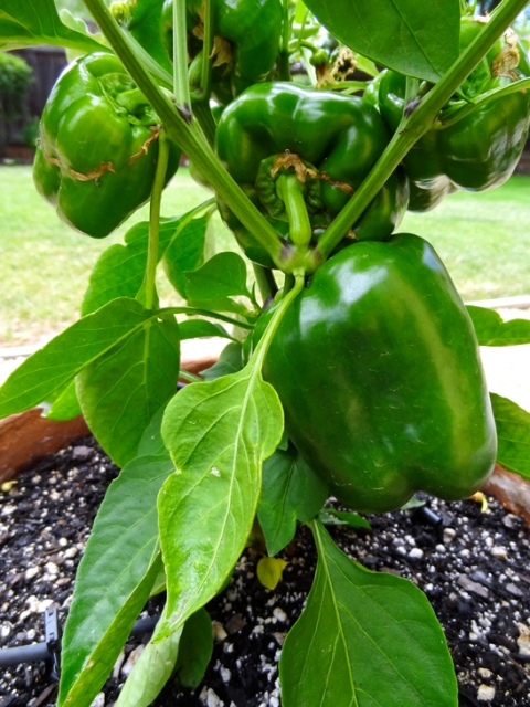 Nope, those aren't green bell peppers -- they're unripe red, sweet peppers. Just another 30 days to go (more or less)
