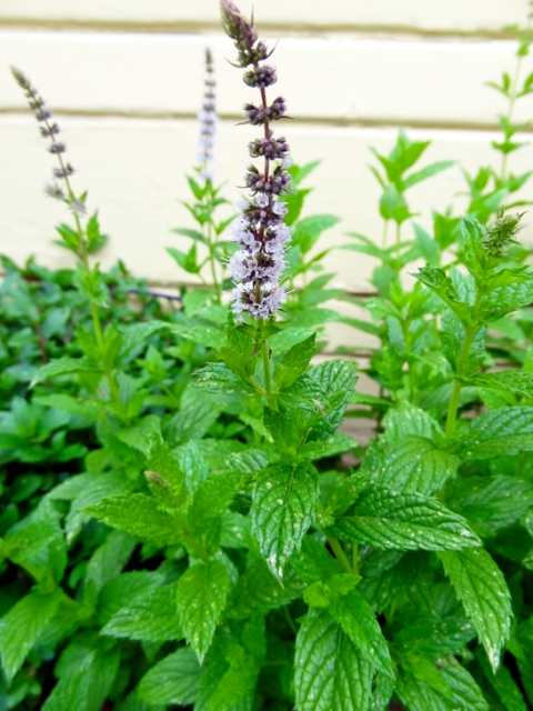 Spearmint, starting to flower