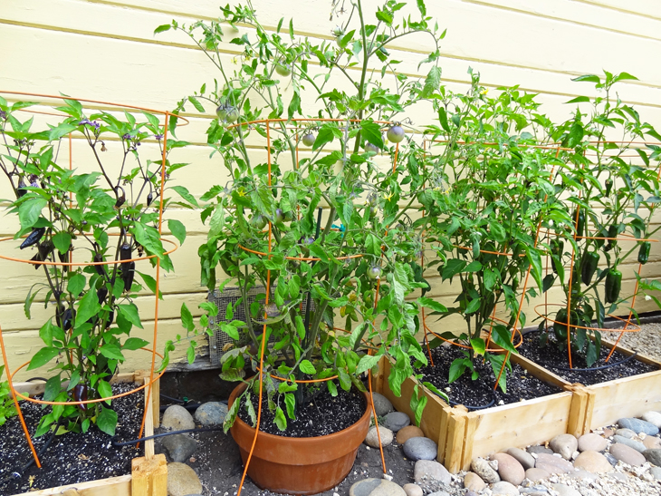 How to Grow Jalapeno Peppers foto