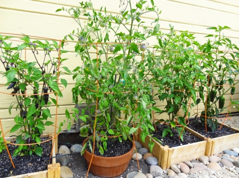 Pepper and tomato plants