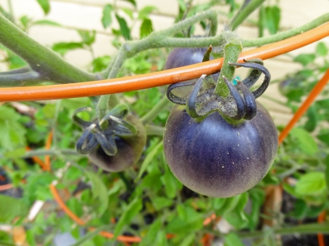 Closeup of unripe Indigo Apple tomatoes
