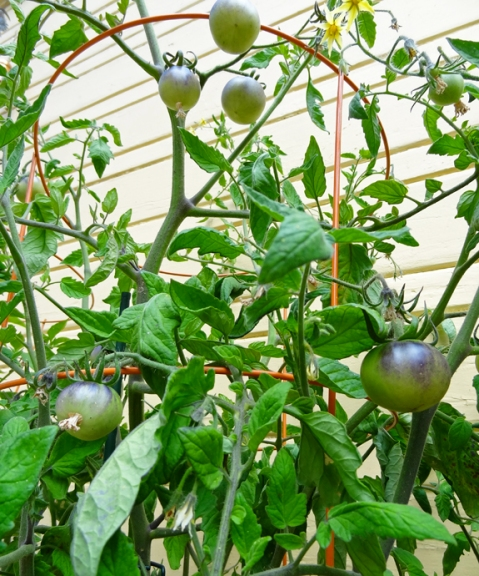 Indigo Apple tomato plant