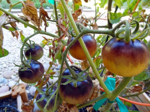 Indigo Apple tomatoes