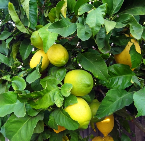 Eureka! Backyard lemons in the 650