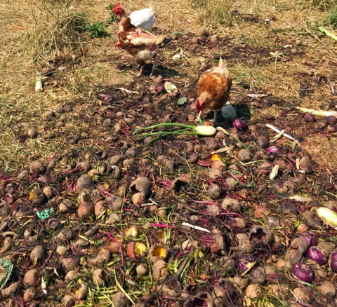 No food waste: Fifth Crow Farm's pasture-raised chickens dine on greens, beets, kohlrabi, and fennel
