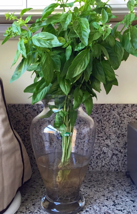 Roots-on basil plant from Fifth Crow Farm: kept in water at room temperature, it lasted almost five weeks