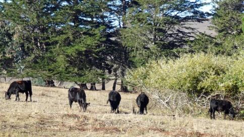 next-door-cows-grazing