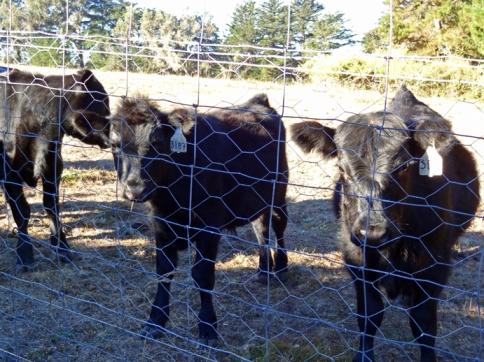 next-door-cows1