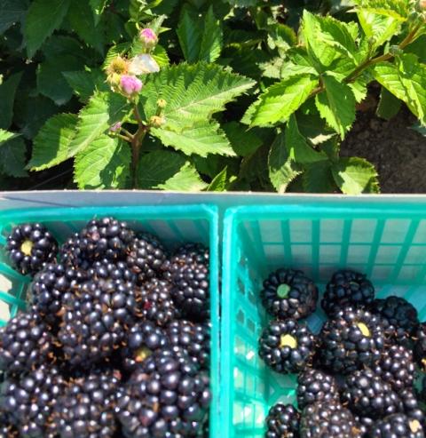 Plump, sweet-tart, organic blackberries