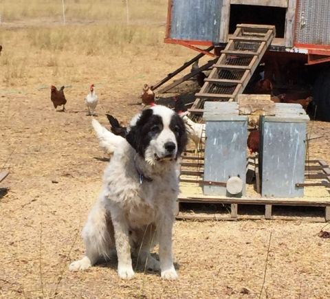 Farm dog, hanging out with the hens