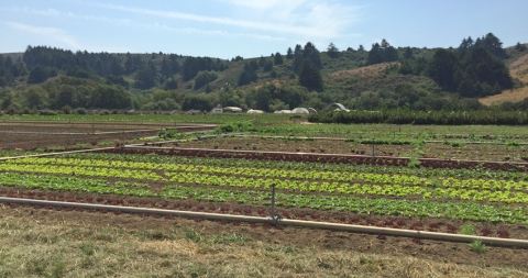 View of the fields with more mature organic greens that are about two weeks from harvest